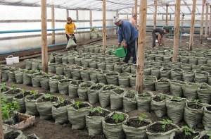 Выращивание рассады огурцов в мешках