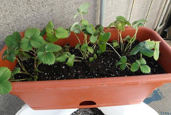 Клубника выращивание дома в квартире 87