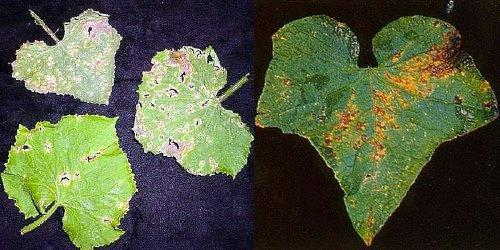 Болезни огурцов с фото и описанием, чем обработать огурцы от болезней
