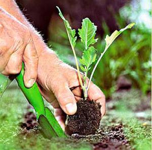 Брюссельская капуста выращивание и уход