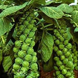 капуста брюссельская на зиму рецепты приготовления с фото