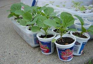 Выращивание цветной капусты в открытом грунте, сорта цветной капусты фото видео