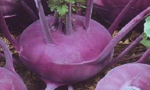 Капуста кольраби - выращивание и уход, как выращивать в открытом грунте