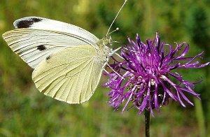 Капустная белянка бабочка капустница