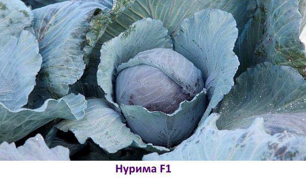 Сорт красной капусты: Нурима F1