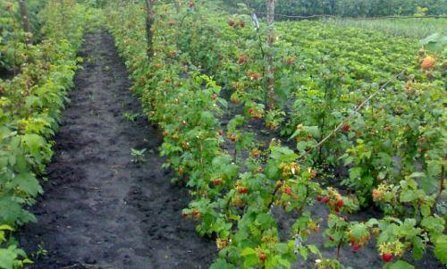 Хороший урожай малины