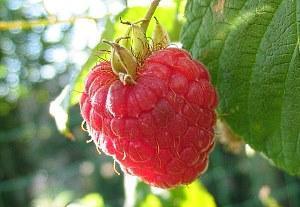 ягода ремонтантной малины
