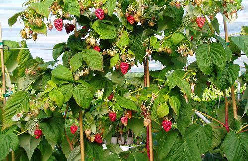 Малиновое дерево Таруса - выращивание и уход видео