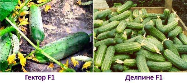 Какие семена огурцов самые лучшие для открытого грунта с фото