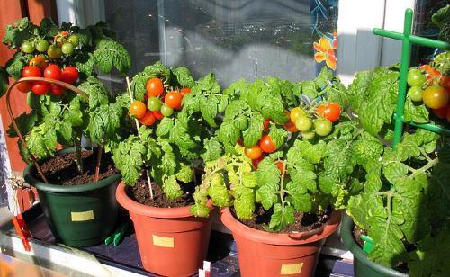 Низкорослые помидоры Черри на подоконнике - фото