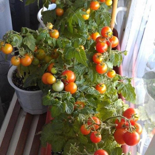 вырастить помидоры на подоконнике зимой видео