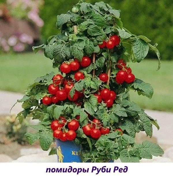 Сорт томатов для выращивания на подоконнике 273