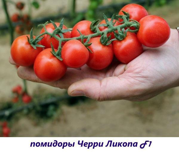 помидоры черри ликопа