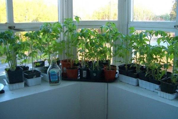 уход за рассадой помидор на подоконнике