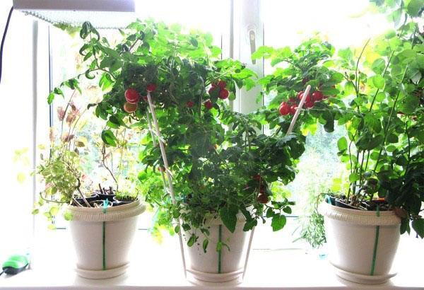 досвечивание томатов