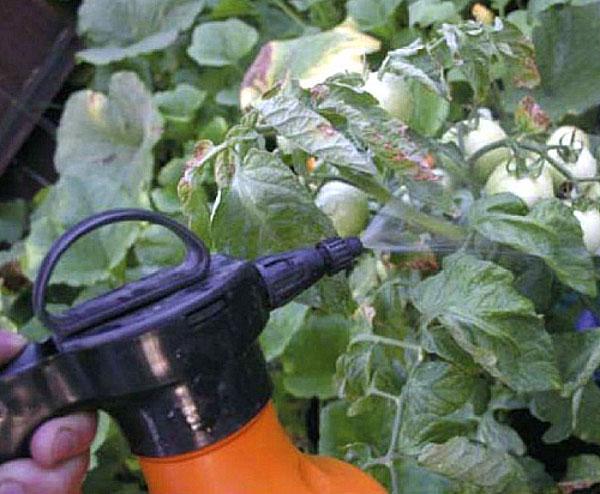 обработка помидор от болезней