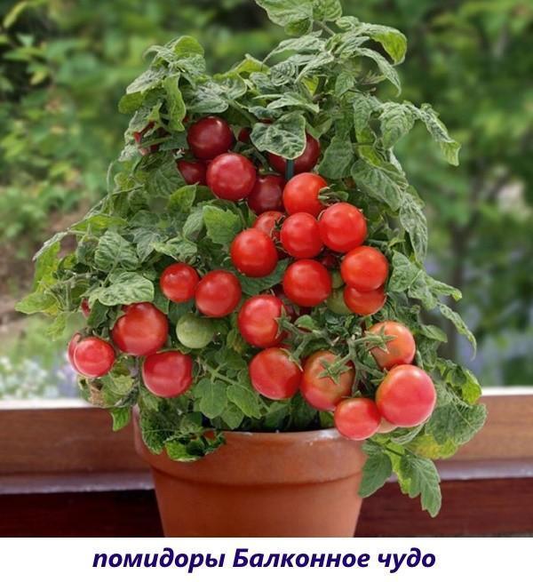 Сорт томатов для выращивания на подоконнике 659