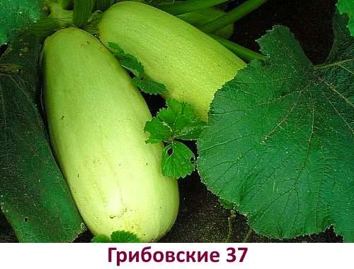 Кабачки сорта Грибовские 37 - фото