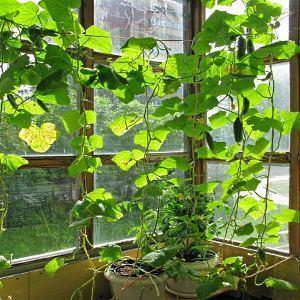 Выращивание огурцов на подоконнике зимой - подкормки, фото 46