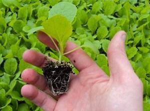 выращивание пекинской капусты рассадным способом