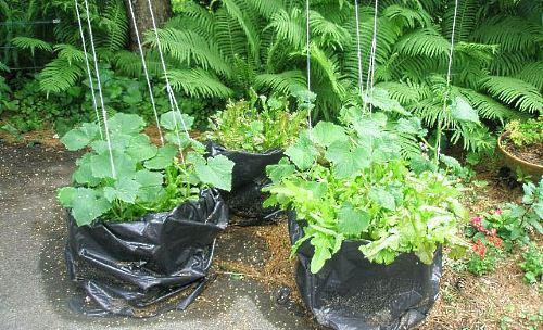 на фото выращивание огурцов в пакетах