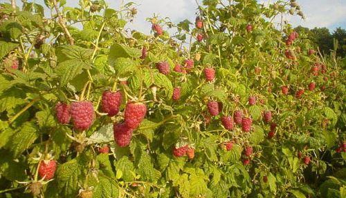 Выращивание малины как бизнес: План и рентабельность 72