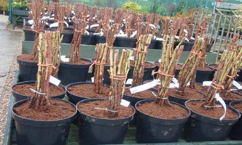 Выращивание малины