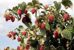 Правила и секреты выращивания малины по методу Соболева видео