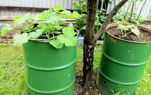 Выращивание огурцов в открытом грунте - способы, секреты