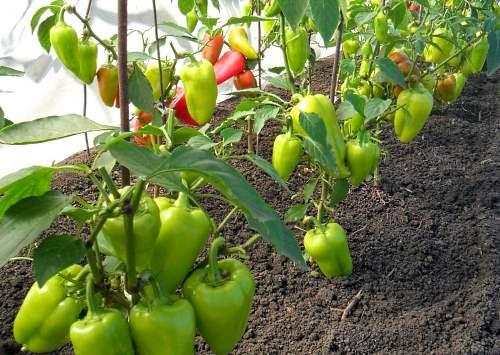 На фото перец выращиваемый в теплице дает больше урожая