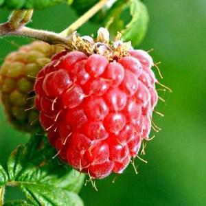 Чем подкормить малину весной, летом и в начале осени, видео