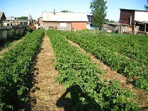Чистые картофельные ряды