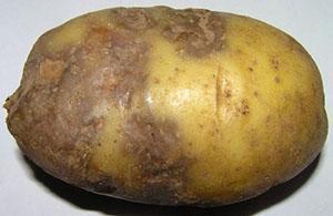Фитофтороз клубня картофеля