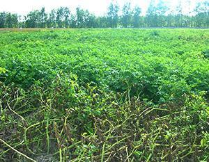 Фитофтороз на картофельном поле