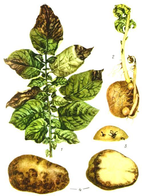 Грибковые заболевания картофеля