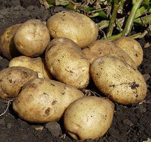 """1 ноя 2017. Что может быть лучше, чем проверенный годами сорт картофеля!. Садоводам нравится выращивать овощи, когда о них уже имеется много отзывов и человек примерно знает, чего ожидать. К такому сорту относится картофель """"ласунок"""". Описание сорта, фото, отзывы представлены в."""