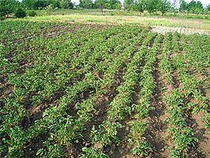Картофельное поле после окучивания