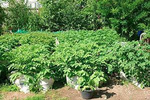 Картошка в мешках на дачном участке
