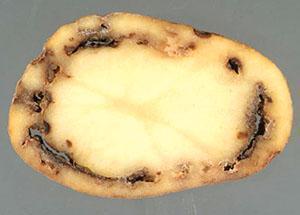 Клубень пораженный стеблевой нематодой