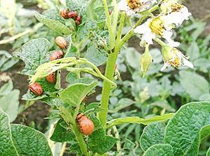 Колорадский жук повреждает цветоносы картофеля