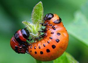 Молодой колорадский жук