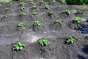 Окучивание растений, посаженных в лунки