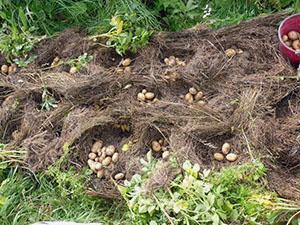 Посадка картофеля на Урале