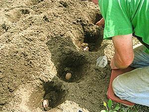 Посадка картофеля в лунки