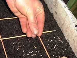 Посев картофельных семян