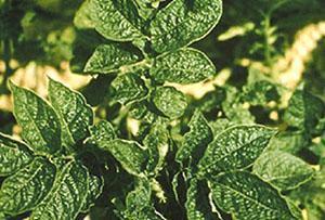 Повреждение растения вирусом