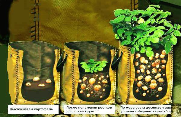 Выращивание картофеля дома 12