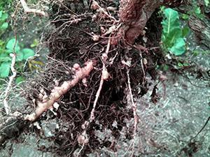 Растение пораженное галовой нематодой