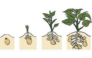 Рост картофеля в мешке