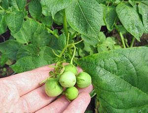 Сбор семян для последующей посадки